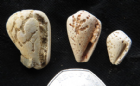 COWRIE SHELLS SHOWING PREDATION - MIOCENE, FRANCE